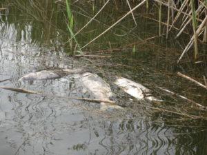 """В принадлежавших СПК """"Колос"""" балках этой весной погибло несколько тонн рыбы. Фото: kavpolit.com"""